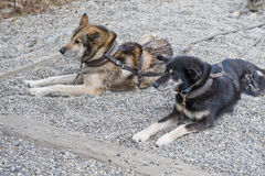 Harnessed sled dogs Royalty Free Stock Photos