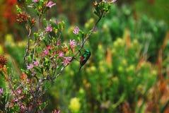 Harold Porter Botanical Gardens Sluit omhoog van uiterst klein, prachtig kleurrijk Dubbel Collared Sunbird op purpere bloemen, in stock foto's