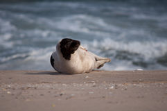 Harp seal Stock Photo