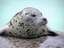Harp seal close-up looking away Royalty Free Stock Photo