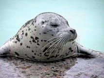 Harp seal close-up looking away royalty free stock photo