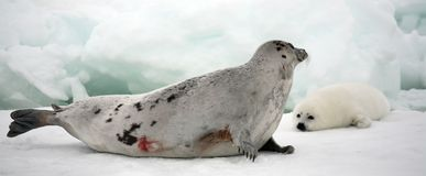 Harp Seal Cow And Newborn Pup On Ice Royalty Free Stock Images