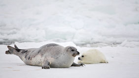 Harp seal cow and newborn pup on ice