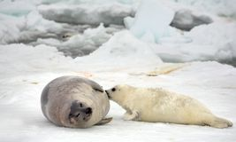 Harp seal cow and newborn pup on ice Royalty Free Stock Image