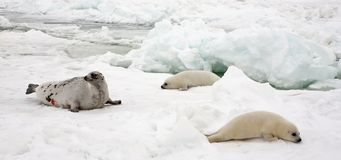 Harp seal cow and newborn pups on ice Stock Photo