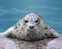 Free Harp Seal Looking At Camera Stock Photos - 14246493