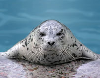 Harp seal looking at camera Stock Photos