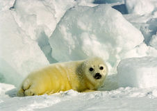 Harp Seal Pup. Newly born harp seal pup on ice flow Stock Photos