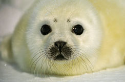 Harp Seal Pup. Close up portrait of harp seal pup Royalty Free Stock Photo