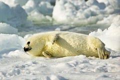 Harp Seal Pup. Basking in sun on ice flow stock photo