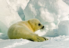 Harp Seal Pup. Newly born harp seal pup on ice flow Royalty Free Stock Image