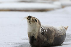 Harp seal. Young Harp Seal on the ice stock images
