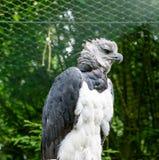 Harpia harpyja. Upper body of an adult in captivity Royalty Free Stock Image