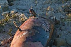 Harpunujący delfin Zdjęcie Royalty Free