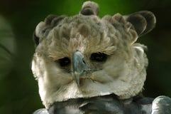 Harpyörn (Harpia Harpyja) royaltyfria bilder