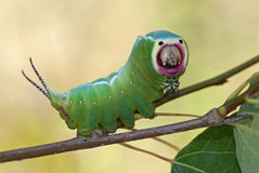 Harpy caterpillar Royalty Free Stock Images