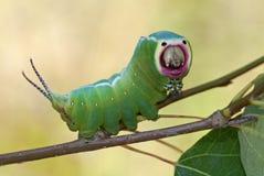 Harpy caterpillar royalty free stock images