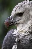 Harpy eagle Stock Images