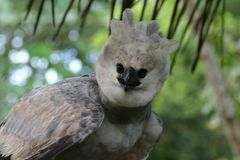 Harpy eagle Stock Photography