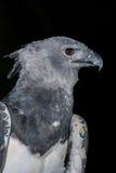 Harpy eagle  on black background. High resolution Stock Image