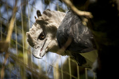 A harpy eagle in captivity royalty free stock images