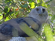 Harpy Eagle. Close up detail of endangered neotropical predator bird Stock Images
