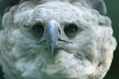 Harpy eagle detail. The detail of adult harpy eagle Stock Photos