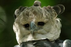 Harpy Eagle (Harpia Harpyja). This powerful eagle lives in America Royalty Free Stock Images