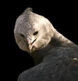 Harpy eagle Royalty Free Stock Photography