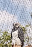 Harpy eagle Harpia harpyja. Is a large eagle found in Mexico and Brazil Royalty Free Stock Photo
