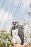 Harpy eagle Harpia harpyja. Is a large eagle found in Mexico and Brazil Stock Image