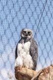 Harpy eagle Harpia harpyja. Is a large eagle found in Mexico and Brazil Royalty Free Stock Image