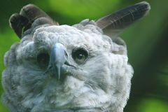 Harpy eagle. The head of harpy eagle royalty free stock photos