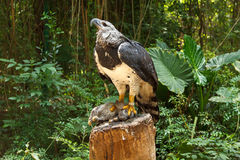 Harpy Eagle Royalty Free Stock Photo