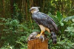 Harpy Eagle Stock Image