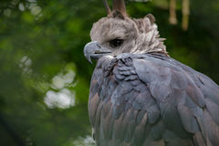 Harpy eagle. Sitting on a branch Royalty Free Stock Photos