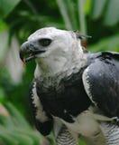 Harpya harpyja (Harpy Eagle) Stock Image