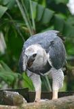 Harpyja van Harpya (de Adelaar van de Harpij) Stock Foto