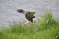 Harrier Imagem de Stock