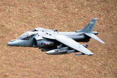 Harrier Stock Photo