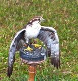 Harrier de faucon - oiseau de proie Photographie stock