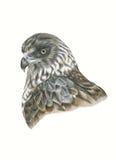 Harrier de la Nouvelle Zélande illustration stock