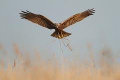 Harrier de marais Images stock