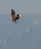 Harrier de marais occidental Photos stock