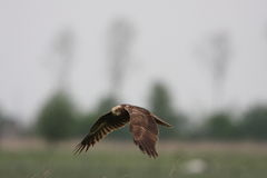 Harrier de marais occidental, aeruginosus de cirque Images libres de droits