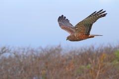 Harrier de pântano Fotografia de Stock