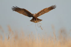 Harrier de pântano Imagens de Stock