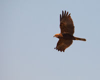 Harrier de pântano no vôo Foto de Stock Royalty Free
