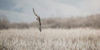 Harrier do norte fêmea que caça sobre a grama alta em pantanais litorais de Califórnia fotos de stock royalty free