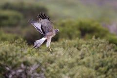 Harrier do norte (hudsonius do cyaneus do circo) Fotos de Stock
